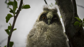 Un polluelo de un búho se sienta en una rama Fotos de archivo