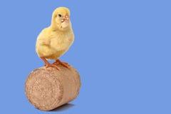Un polluelo de un día Fotos de archivo libres de regalías