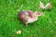 Un polluelo del pavo real Imagen de archivo libre de regalías