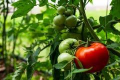 Un pomodoro rosso che matura nel giardino questa estate Fotografia Stock Libera da Diritti