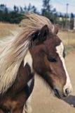 Un poney d'obturation Photo stock