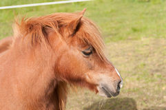 Un poney de Shetland de chesnut Photos libres de droits