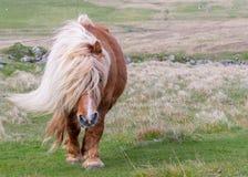 Un poney de Shetland solitaire descend une route à rail unique sur un écossais amarrent image stock