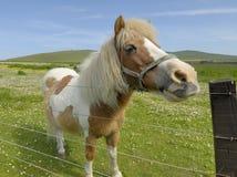 Un poney par une frontière de sécurité Image libre de droits