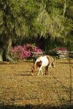 Un poney repéré blanc et rouan frôle dans un jardin avec Live Oak Trees et des azalées Image libre de droits