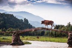 Un pont acrossing de vache Photo libre de droits