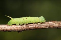 Un populi de Caterpillar Laothoe de Faucon-mite de peuplier images stock