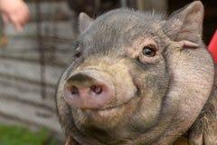 Un porc de jeunes de village Image libre de droits