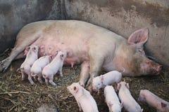 Un porc de maman avec ses porcelets photo stock