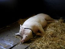 Un porc de pose. Photo stock