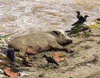 Un porc sale à côté de l'eau entourée par des ordures, des déchets et l'oiseau image stock
