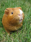 Un porc terriblement mignon ! Image libre de droits
