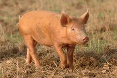 Un porcellino Fotografia Stock