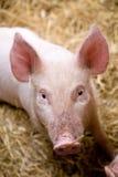 Un porcellino Fotografie Stock Libere da Diritti