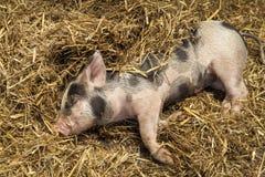 Un porcellino risieduto in paglia Immagine Stock Libera da Diritti