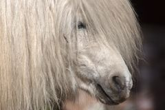 Un portrait étroit d'un poney blanc Photos stock