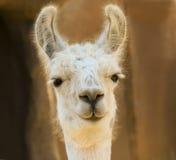 Un portrait étroit d'un lama blanc Images libres de droits