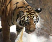 Un portrait étroit d'un tigre attentif Image stock