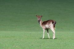 Un portrait animal d'un cerf commun affrich image libre de droits