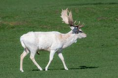 Un portrait animal d'un mâle blanc de cerfs communs affrichés photo libre de droits