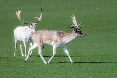 Un portrait animal de deux m?les masculins de cerfs communs affrich?s dans un domaine photos libres de droits