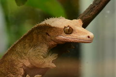 Un portrait crêté de gecko photographie stock libre de droits