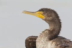 Un portrait d'un auritus double-crêté de Phalacrocorax de cormoran appréciant la chaleur du soleil photos libres de droits