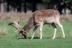 Un portrait d'un cerf commun affriché masculin frôlant dans un domaine herbeux photo stock
