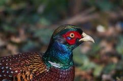 Un portrait d'un faisan commun avec des couleurs gentilles Image libre de droits