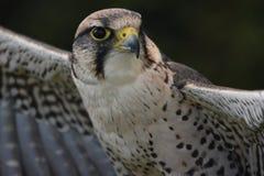 Un portrait d'un faucon de MERLIN, faucon prépare pour effectuer le vol photos stock