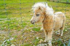 Un portrait d'un poney de Shetland solitaire dans le zoo de la Carélie photos libres de droits