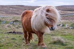 Un portrait d'un poney de Shetland solitaire sur un écossais amarrent photographie stock