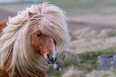 Un portrait d'un poney de Shetland solitaire sur un écossais amarrent images stock