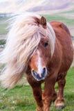 Un portrait d'un poney de Shetland solitaire sur un écossais l'amarrent sur photo stock