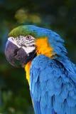 Un portrait d'un beau perroquet Images libres de droits