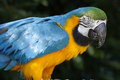 Un portrait d'un beau perroquet Images stock