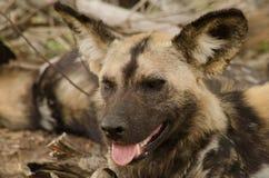 Un portrait d'un chien sauvage photographie stock