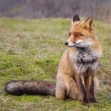 Un portrait d'un renard rouge Photo libre de droits