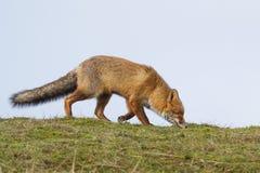 Un portrait d'un renard rouge Images stock