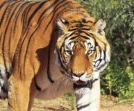 Un portrait d'un tigre de Bengale dans la forêt Photo stock