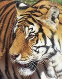 Un portrait d'un tigre de Bengale dans la forêt Images stock