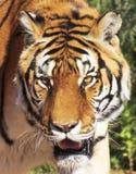 Un portrait d'un tigre de Bengale dans la forêt Photo libre de droits