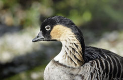 Un portrait d'une oie ou d'un NeNe hawaïenne. Photos stock