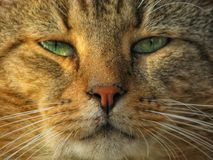 Un portrait de chat Images libres de droits