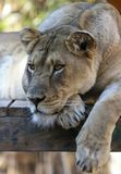 Un portrait de Lion Lounging féminin dans un zoo Photos libres de droits