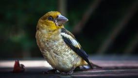 Un portrait extérieur d'oiseau chanteur coloré Photo libre de droits
