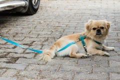 Un portrait mignon et fâché de chien jaune image libre de droits