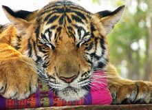 Fermez-vous vers le haut des tigres visage et pattes dormant sur l'oreiller Photos stock