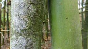 In un posto umido, il bambù è circondato da muschio immagini stock