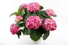 Un pot blanc d'usine avec un hortensia rouge de floraison photos libres de droits